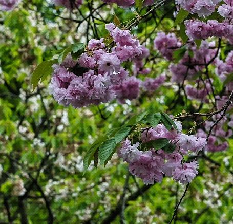 Анимация Весенние цветущие ветки сакуры