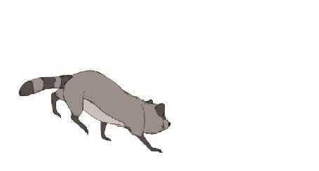 Анимация Енот на белом фоне
